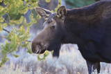 Backlit Moose (Alces Alces) Cow in Profile Photographic Print by  Eleanor