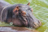 Hippopotamus (Hippopotamus Amphibious) Bathing in the Water Photographic Print by  Michael