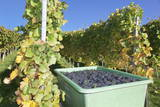 Grape Harvest, Esslingen, Baden Wurttemberg, Germany, Europe Photographic Print by  Markus