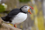 Atlantic Puffin (Fratercula Arctica), Iceland, Polar Regions Photographic Print by  James