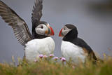 Atlantic Puffin (Fratercula Arctica) Pair, Iceland, Polar Regions Photographic Print by  James