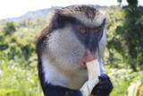 Mona Monkey (Cercopithecus Mona) Eats Banana Photographic Print by  Eleanor