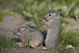 Young Uinta Ground Squirrel (Urocitellus Armatus) Photographic Print by  James