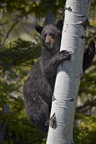 Black Bear (Ursus Americanus) Sow Climbing a Tree Photographic Print by  James