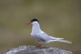 Arctic Tern (Sterna Paradisaea), Iceland, Polar Regions Photographic Print by  James