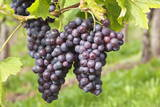 Red Wine Grapes, Uhlbach, Baden Wurttemberg, Germany, Europe Lámina fotográfica por  Markus