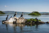 White-Breasted Cormorants (Phalacrocorax Lucidus) Photographic Print by  Michael