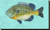 Bluegill Stretched Canvas Print by John Golden