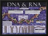 DNA & RNA Posters