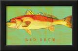 Red Drum Print by John Golden