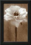 Antique Rose Prints by Christine Zalewski