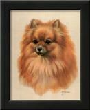 Pomeranian Prints by Judy Gibson