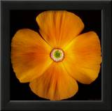 California Poppy Prints by Harold Feinstein