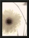 Gerbera Shimmer II Poster by Donna Geissler