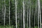 Birch Forest on the Island of Kodiak, Alaska Photographic Print by Françoise Gaujour