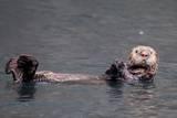See-Otter in Alaska Fotografisk tryk af Françoise Gaujour
