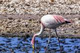 Pink Flamingo in the Salar De Atacama, Chile and Bolivia Photographic Print by Françoise Gaujour