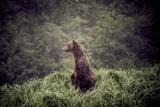 Kodiak Island Bear, Kodiak, Alaska Photographic Print by Françoise Gaujour