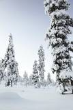 Pine Forest Covered in Snow in Lapland, Finland Photographic Print by Françoise Gaujour