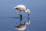 Pink Flamingo from the Andes and its Reflection in the Salar De Atacama, Chile and Bolivia Photographic Print by Françoise Gaujour
