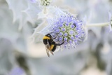 Bumblebee on Flower at Cap Ferret, France Photographic Print by Françoise Gaujour