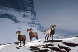 Bighorn Sheep High in the Lewis Range of Glacier National Park, Montana Photographic Print by Steven Gnam