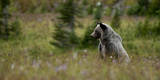 Grizzly in a Meadow in Glacier-Waterton International Peace Park, Lewis Range, Montana Photographic Print by Steven Gnam