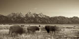 Bison in a Meadow with the Teton Mountain Range as a Backdrop, Grand Teton National Park, Wyoming Photographic Print by Adam Barker