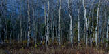 Aspen Grove in Glacier National Park, Montana Photographic Print by Steven Gnam