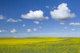 Canola Field on a Beautiful Sunny, Summer Day in the Palouse, Washington Photographic Print by Patricia Davidson