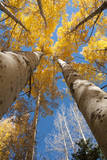 San Juan Aspen Trees Turning Color in Colorado Photographic Print by Daniel Gambino