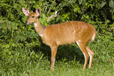 A Bushbuck in a Forest Clearing in Ugandaõs Kibale National Park Photographic Print by Neil Losin
