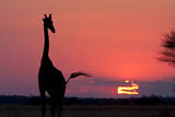 A Lone Giraffe in Silhouette Watches the Sun Set on the Horizon. Deception Valley, Botswana Photographic Print by Karine Aigner