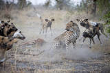 A Lone Cheetah Tries to Fight Off a Pack of African Wild Dogs in Botswana Photographic Print by Karine Aigner