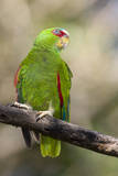 A White-Fronted Parrot in a Costa Rican Dry Forest Photographic Print by Neil Losin