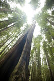 Scenic Image of Giant, Ancient Tree in Humboldt Redwoods State Park, California Photographic Print by Justin Bailie
