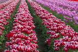 Spring Tulips Bloom at the Wooden Shoe Tulip Farm in Woodburn, Oregon Photographic Print by Patricia Davidson