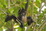 A Young Female Geoffroyõs Spider Monkey in Corcovado National Park, Costa Rica Photographic Print by Neil Losin