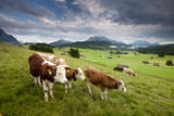 Curious Cows in the Farm Country of Bavaria Photographic Print by Adam Barker