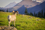 A Bighorn Sheep Pauses During Foraging on Logan Pass in Glacier National Park, Montana Photographic Print by Jason J. Hatfield