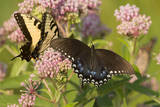 A Spicebush Swallowtail Feeds from Milkweed Flowers in a Virginia Wetland Photographic Print by Neil Losin