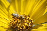 Honey Bee on a Wildflower in Montana Photographic Print by Steven Gnam