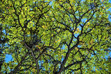 A Lenga Tree, Nothofagus Pumilio, Native to Southern Chile and Argentina Photographic Print by Bennett Barthelemy