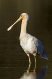 A Yellow-Billed Spoonbill in a Southwest Australian Wetland Photographic Print by Neil Losin