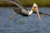A Brown Pelican Dives in Pursuit of Fish in a Southern California Coastal Wetland Photographic Print by Neil Losin
