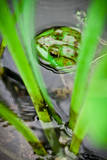 Frog in the Reeds, Connecticut Pond Photographic Print by Daniel Gambino