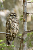 A Spotted Owl in Los Angeles County, California Photographic Print by Neil Losin