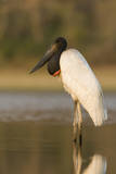A Jabiru, a Large Species of Stork, in the Pantanal, Brazil Photographic Print by Neil Losin