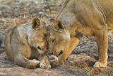 Two Lionesses Nuzzling Each Other Showing Love in Mana Pools National Park, Zimbabwe Photographic Print by Karine Aigner