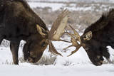Two Bull Moose Spar in Grand Teton National Park, Wyoming Photographic Print by Mike Cavaroc